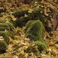 苔とイチョウの葉