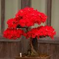 Photos: のとキリシマツツジの盆栽