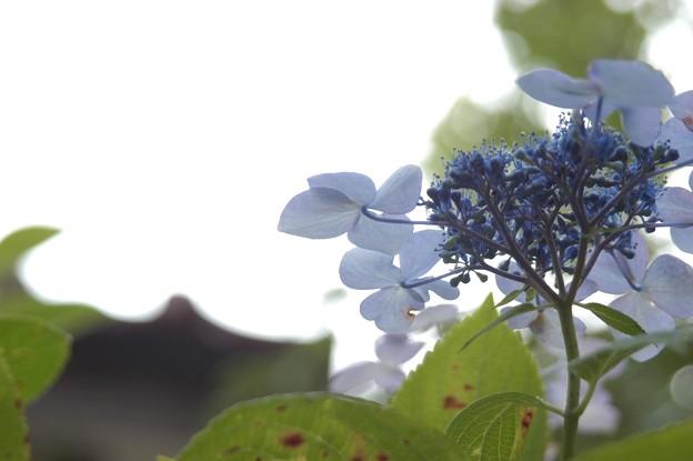 日暮れ時の紫陽花