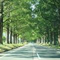 写真: 夏のメタセコイア並木