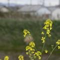 Photos: 船橋川の菜の花4