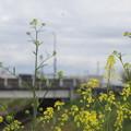 Photos: 船橋川の菜の花3
