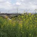 Photos: 船橋川の菜の花2