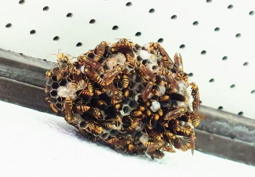 キアシナガバチの巣(接近)