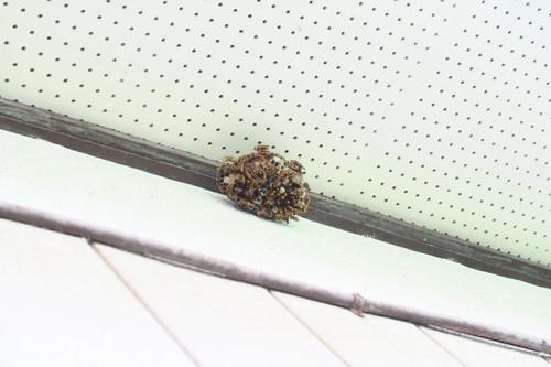 キアシナガバチの巣(遠景)