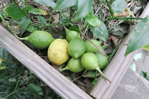 台風で落果したレモン