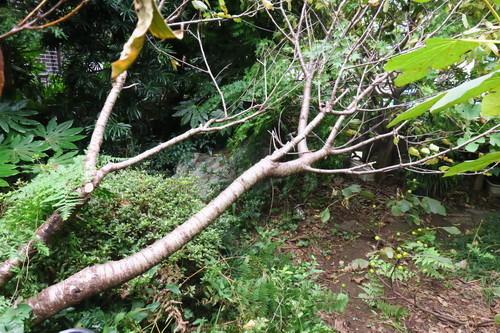 台風で根元から折れた桜んぼの木