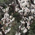小石川庭園 白梅
