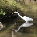 池に姿写す鷺