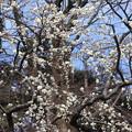 小石川庭園の 白梅満開