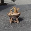 小石川庭園藁で造られた福寿草
