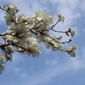 白木蓮゛咲きました・・