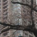 茗荷谷高層マンションの桜
