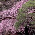 庭園の枝垂れ桜 & 松