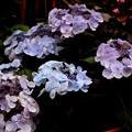 この季節に 紫陽花と出会う
