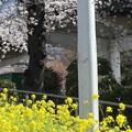 隅田川土手の菜の花と染井吉野