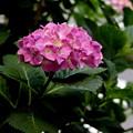道端紫陽花