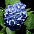 紫陽花も色つくのが早く・・