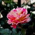 八重に咲く薔薇