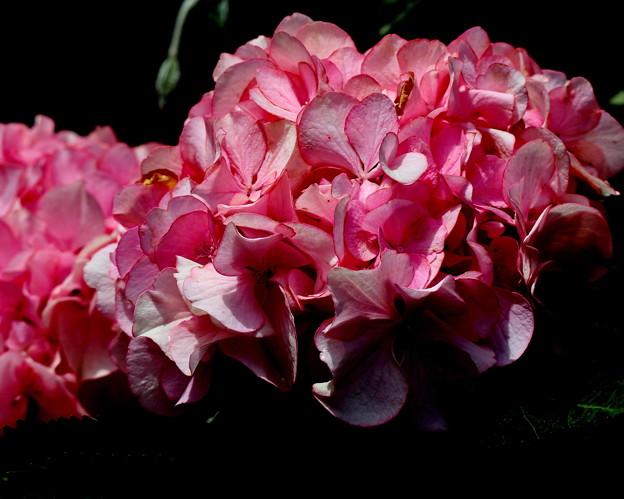 紫陽花 ピンク色