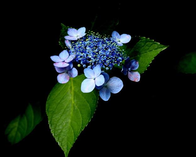 残り紫陽花