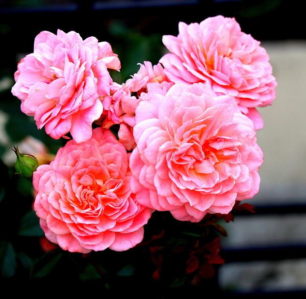 写真: 都電沿線の ミニ薔薇