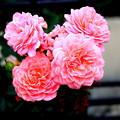 Photos: 都電沿線の ミニ薔薇
