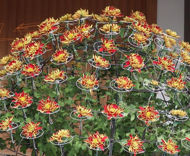 湯島神社菊祭りより