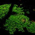 都会のモミジはまだグリーン