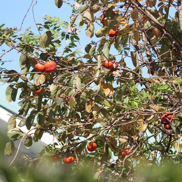 都会の渋柿