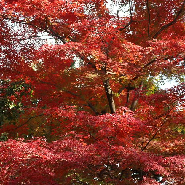 小石川庭園の紅葉
