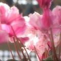 写真: まだ咲いています♪