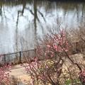 紅梅咲き始めて
