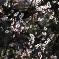 写真: 梅の輝き