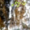 写真: 楓の若葉