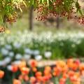 写真: 楓の花