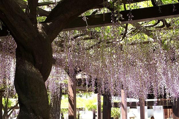 葛井寺の藤棚