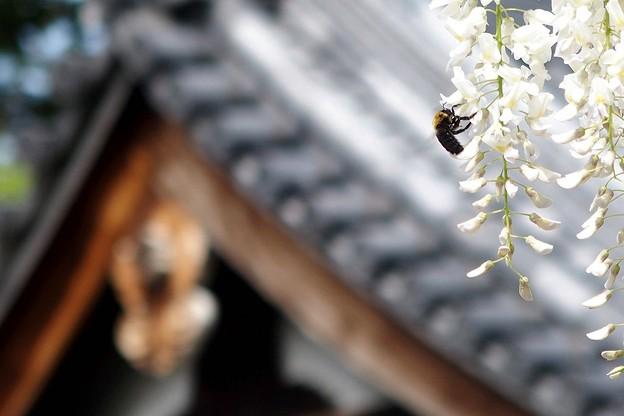 お堂とクマバチ