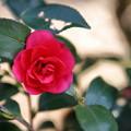 写真: 赤い椿