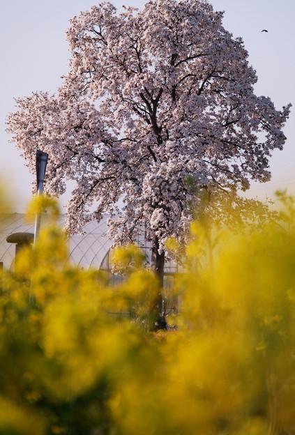 こぶしと菜の花 - コピー