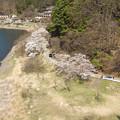 写真: 湖畔のサクラ