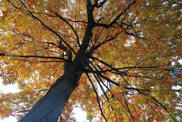 Maple Tree 10-17-15
