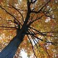 Photos: Maple Tree 10-17-15