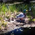 写真: Ducks 2-18-16