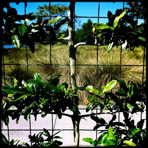 写真: Bay Rum Tree 2-18-16