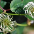 Tropical Clematis 2-18-16