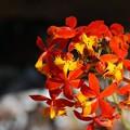 Photos: Epidendrum Radicans 2-18-16
