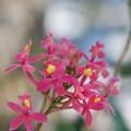 Epidendrum Ibaguense 2-18-16