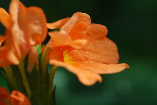 Firecracker Flower Blooming 3-8-16