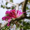 Hong Kong Orchid Tree 3-8-16